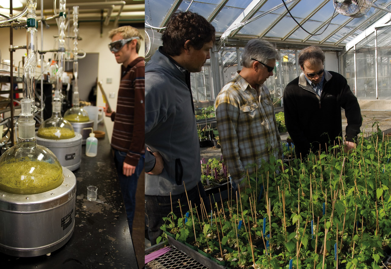 Dr. Shaun Townsend (far right) teaching Indie Hopsters Matt Sage (center) and Jim Solberg (left) the subtleties of hop breeding. In the foreground are about 500 seedlings from 2010 breeding crosses that have survived a rigorous culling, the most recent being a nasty powdery mildew innoculation that these plants resisted with only their own natural resources.