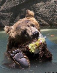 Bear_Lawyer