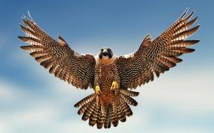 Furious_Falcon