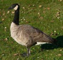 p-goose