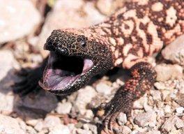 lizardspring